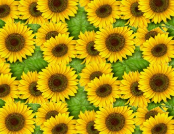 陶瓷印花紙-太陽花 (彩色)